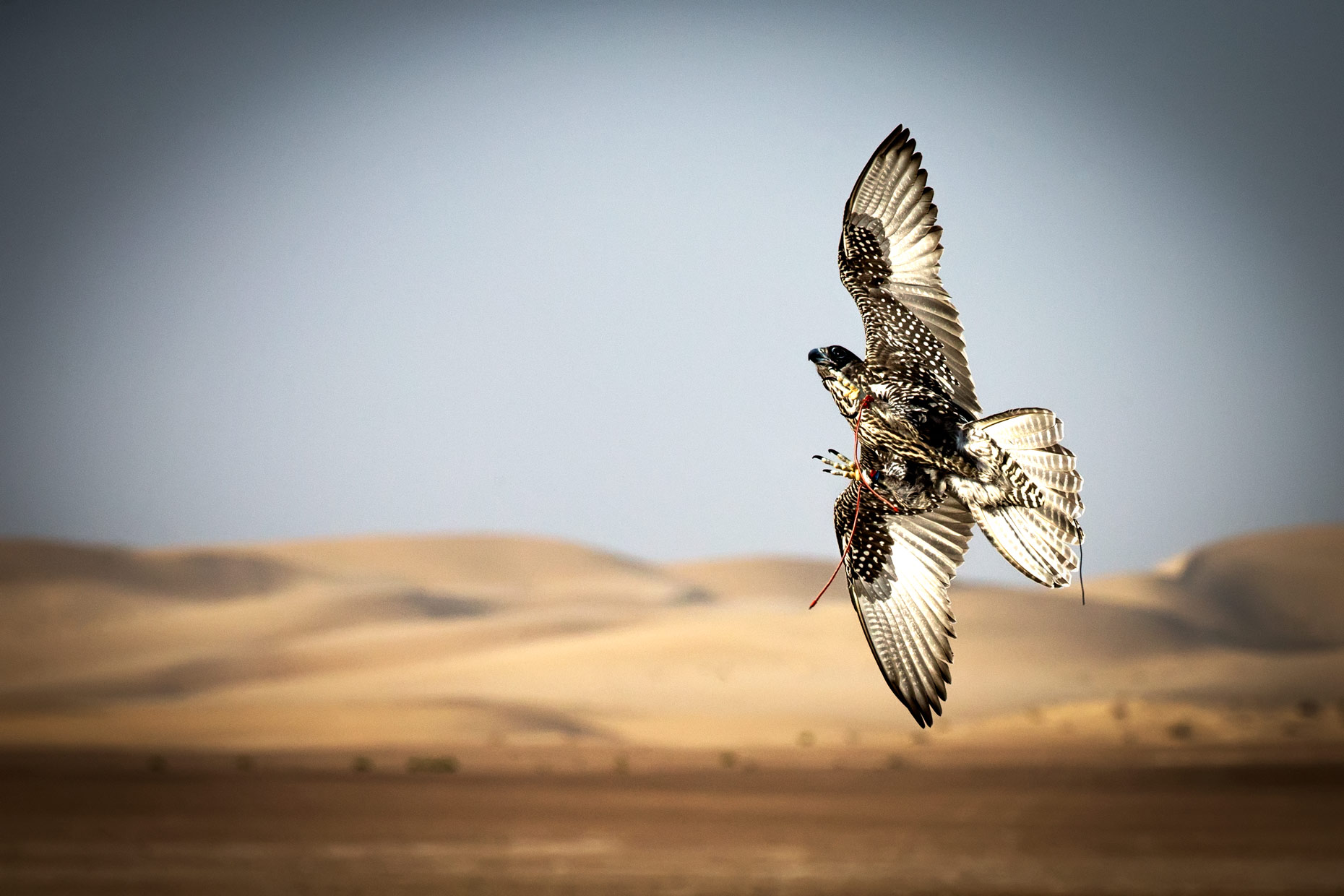 Wouter Kingma Falcons of Arabia 04